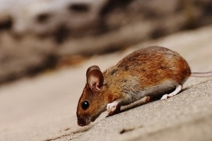 Mice Exterminator, Pest Control in Petts Wood, St Mary Cray, BR5. Call Now 020 8166 9746