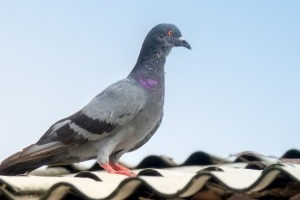 Pigeon Control, Pest Control in Petts Wood, St Mary Cray, BR5. Call Now 020 8166 9746